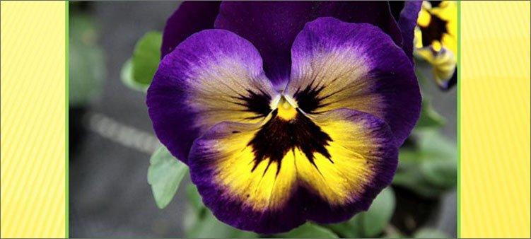 фиолетовый-цветок-анютины-глазки