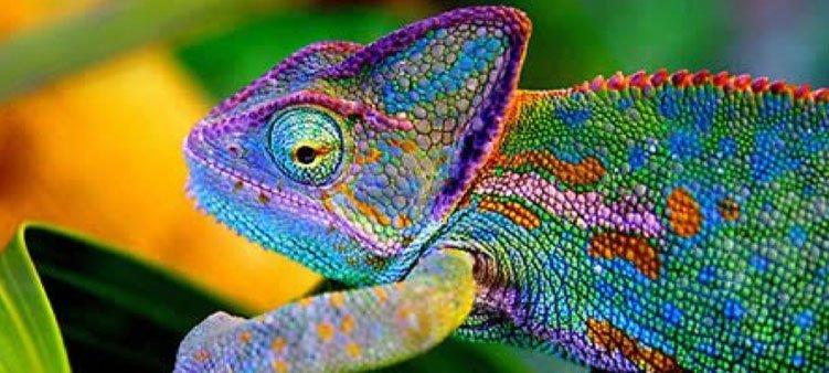 красивый-разноцветный-хамелеон