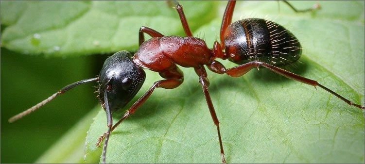 муравей-на-зеленом-листике