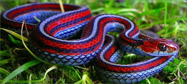 красивая-разноцветная-змея-на-траве