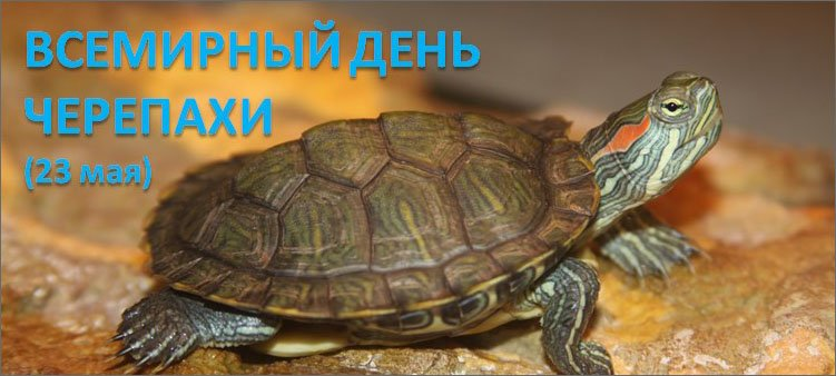 сухопутная-черепаха-ползет