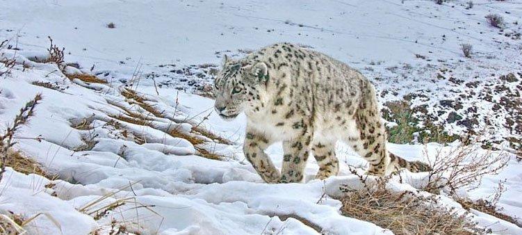 снежный-леопард-идет-по-снегу