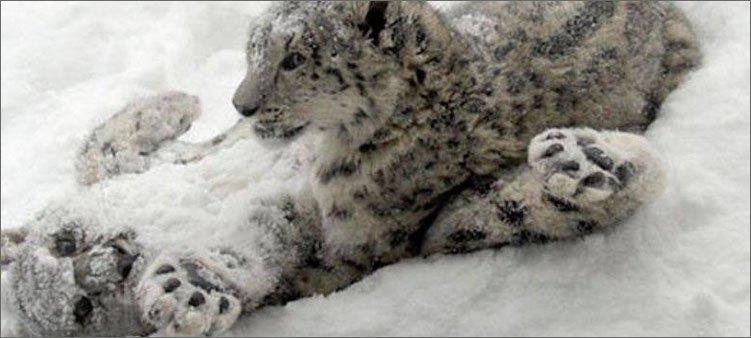 снежные-барсы-валяются-в-снегу