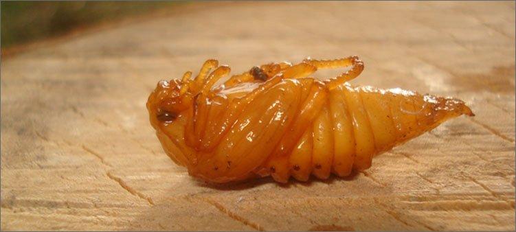 куколка-майского-жука