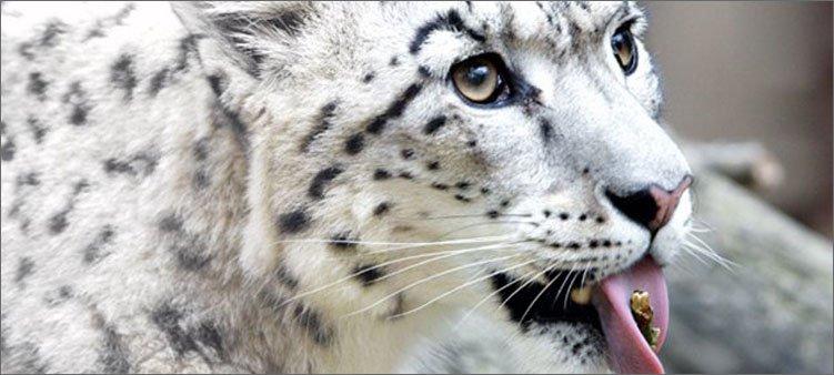 снежный-леопард-облизывает-ветку