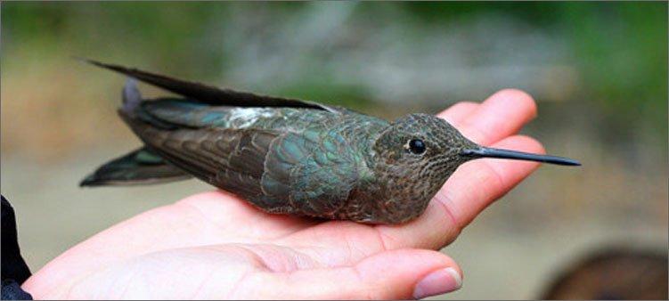 исполинский-колибри-на-руке