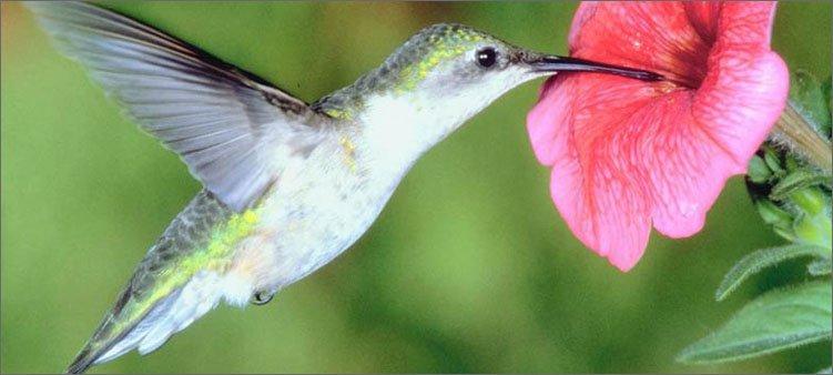 колибри-ест-из-розового-цветка