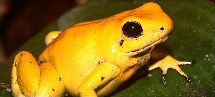 ядовитая-лягушка-листолаз