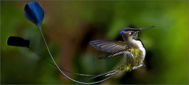 колибри-ракетохвост
