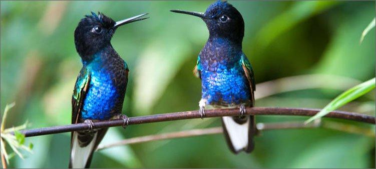 красивые-синие-колибри