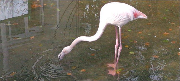 розовый-фламинго-в-зоопарке