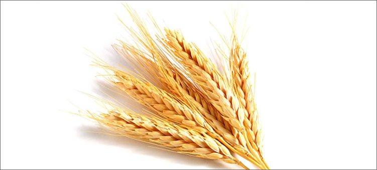 пшеничные-колосья