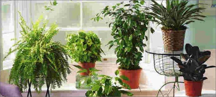 много-комнатных-растений