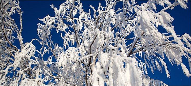 заснеженное-дерево