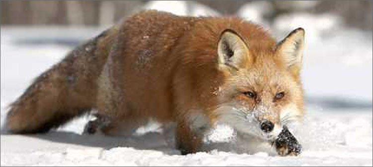 лисица-на-охоте
