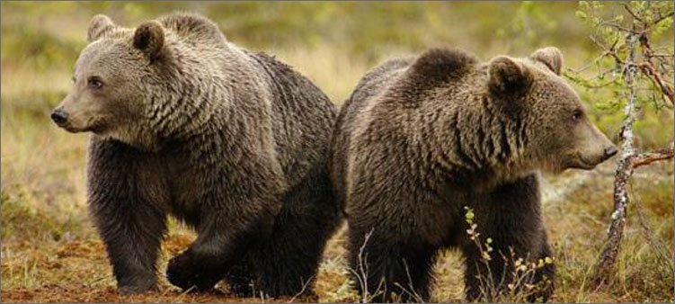 два-бурых-медведя