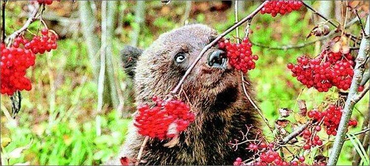 медведь-ест-ягоды
