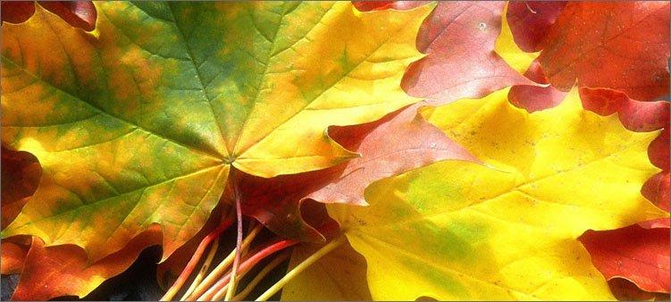 лист-начинает-желтеть