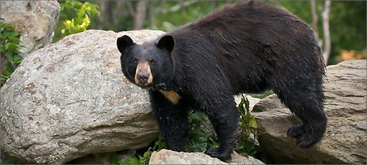 медведь-барибал