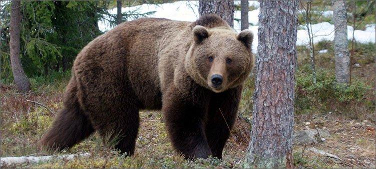 бурый-медведь-в-лесу