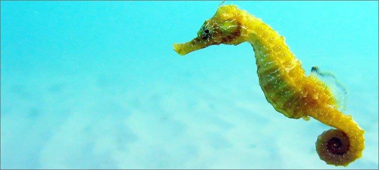 желтый-морской-конек