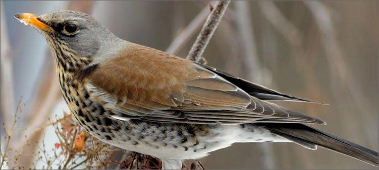 птица-дрозд