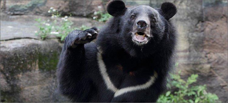 гималайский-медведь