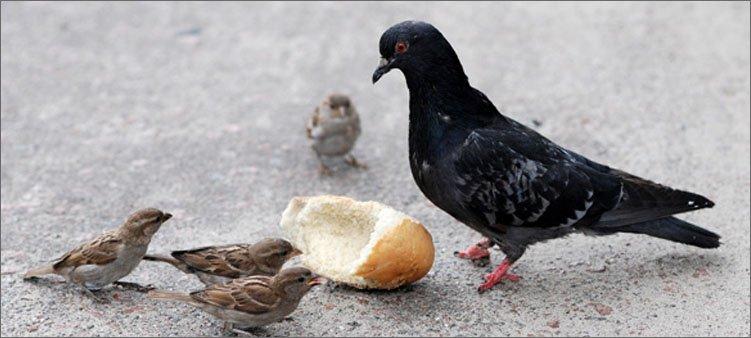 голубь-и-воробьи-едат-хлеб