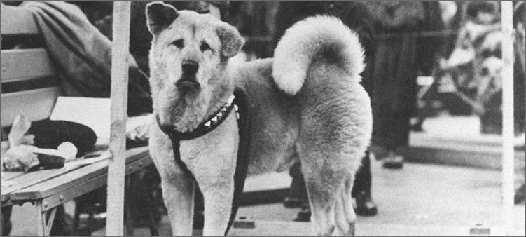 фото-собаки-хатико
