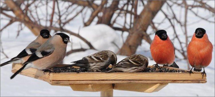 птицы-на-кормушке
