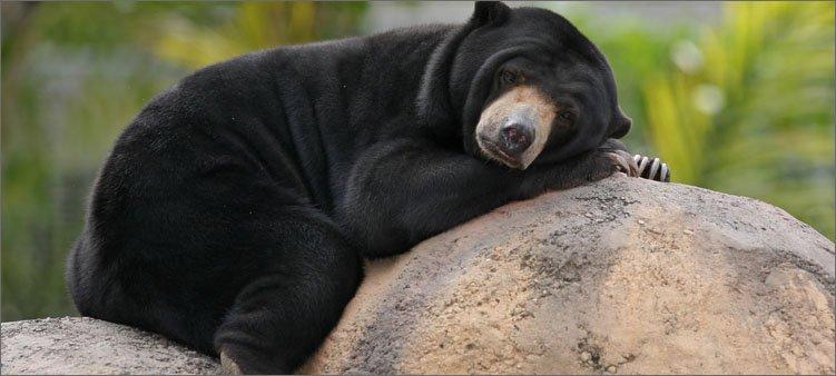 малайский-медведь-спит