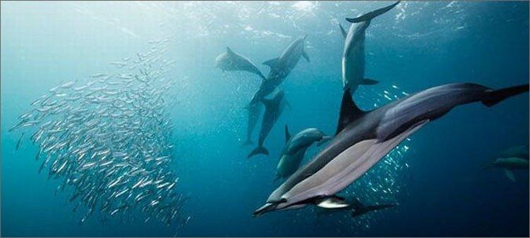 дельфины-ловят-рыбу