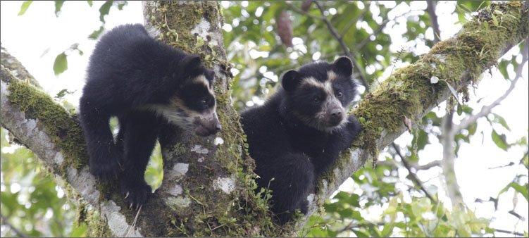 очковые-медведи-на-дереве