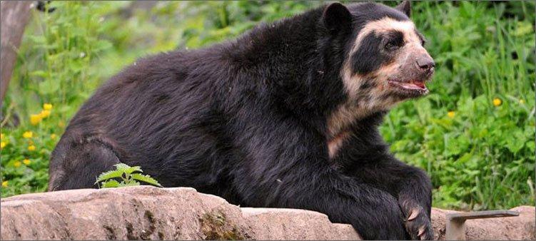 очковый-медведь-лежит