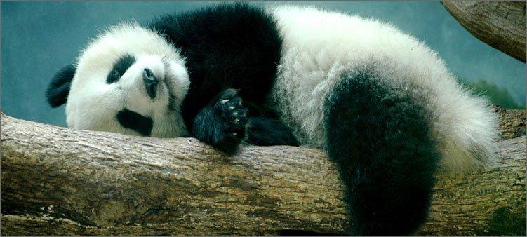 панда-на-дереве