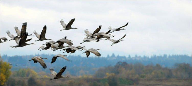 перелетные-птицы-взлетают