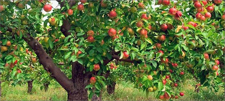 яблоневый-сад