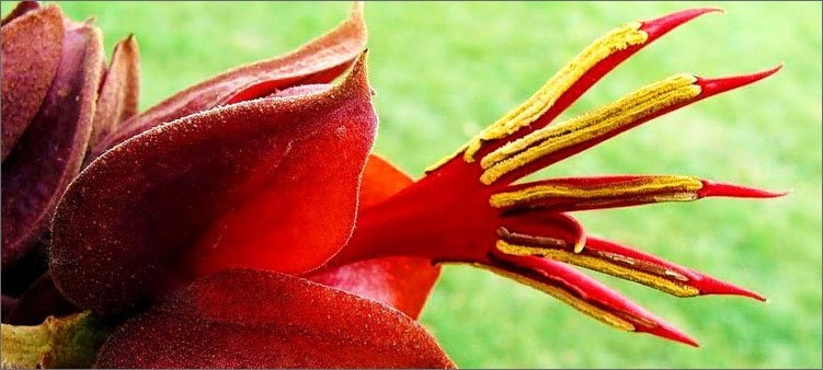 растение-хирантодедрон
