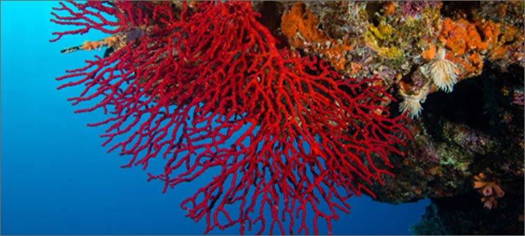 красивый-красный-коралл