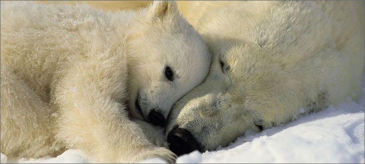 белая-медведица-с-медвежонком