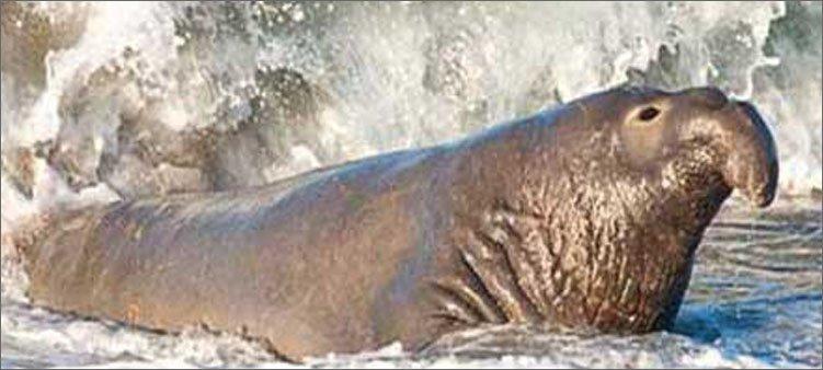 морской-слон-на-берегу