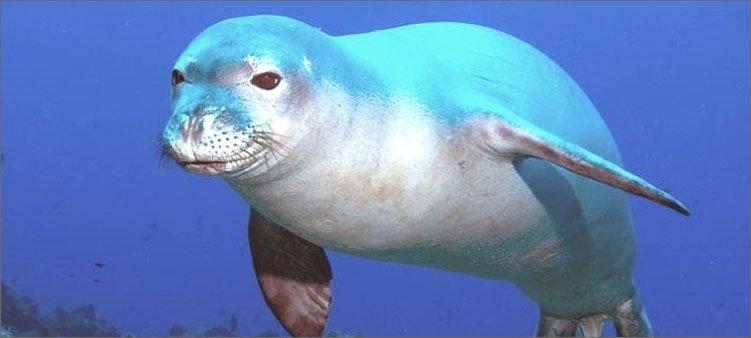тюлень-в-воде