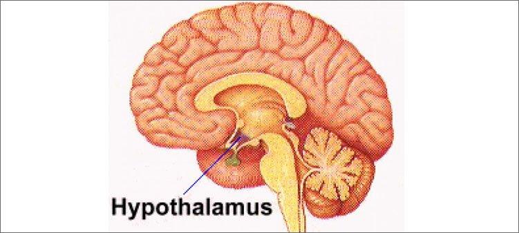 расположение-гипоталамуса-в-мозге