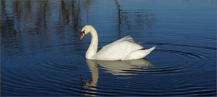 лебедь-плывет