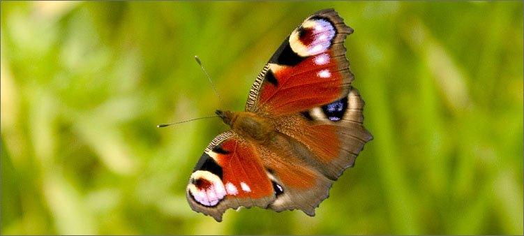 бабочка-летит