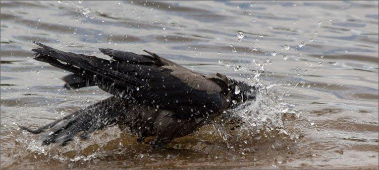 ворона-купается-в-луже