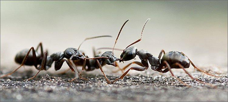 муравьи-дерутся