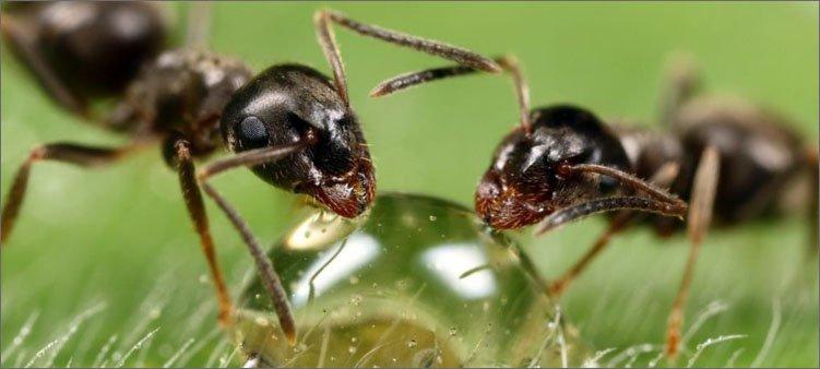 муравьи-пьют-воду