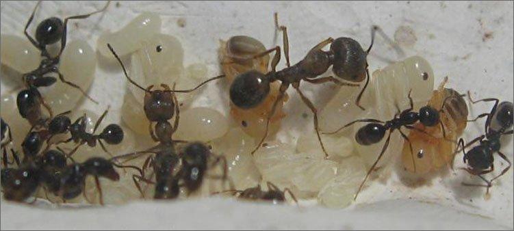 муравьи-солдаты-с-личинками