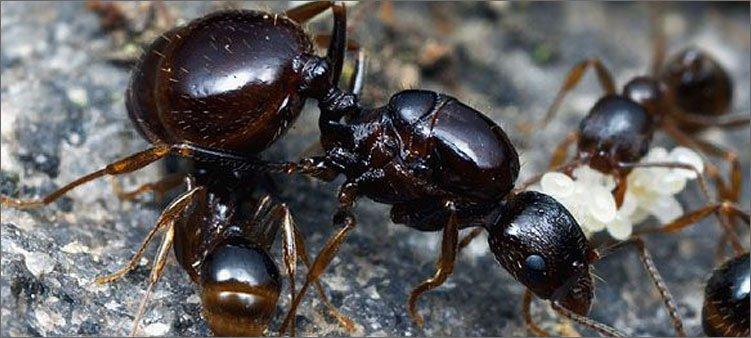 царица-муравьев